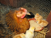 La Bergerie - Hen with Chicks